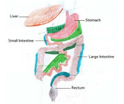 digestive tract connective tissue