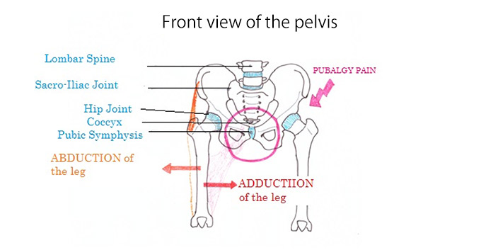 front view of pelvis