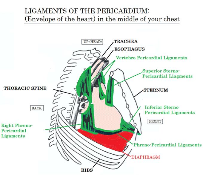 ligaments of the pericardium
