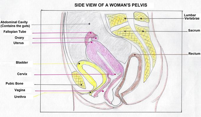 female-pelvis-side-view-diagram